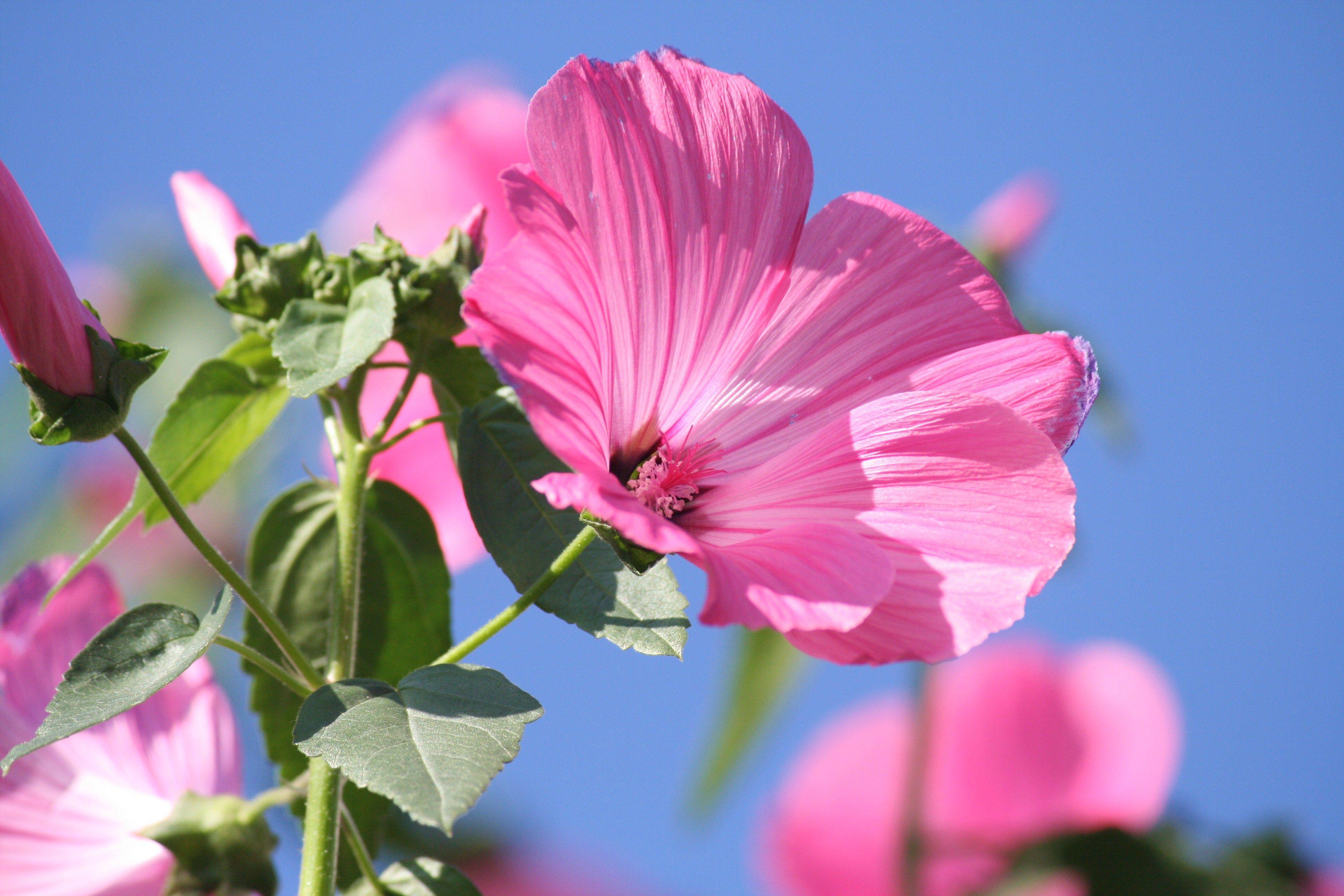 Мальва: посадка и уход за высокорослой красавицей http://happymodern.ru/malva-posadka-i-uxod-za-vysokorosloj-krasavicej/ Все части растения можно использовать как лекарство, но самая сильная концентрация полезных веществ — в корне Смотри больше http://happymodern.ru/malva-posadka-i-uxod-za-vysokorosloj-krasavicej/