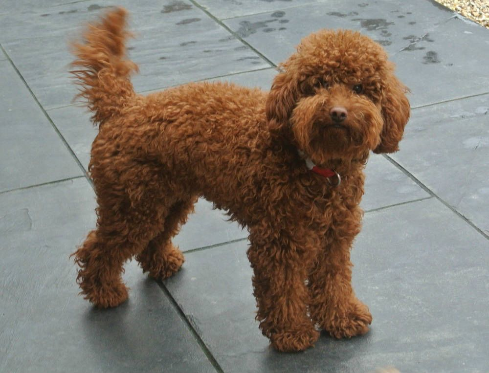 Meet Biscuit Our Dark Red Poodle Stud Dog Poodle Dogs Our Dark
