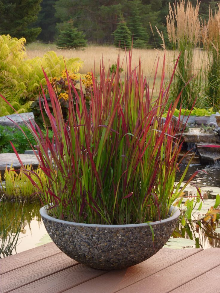 Japanese Blood grass in a garden container