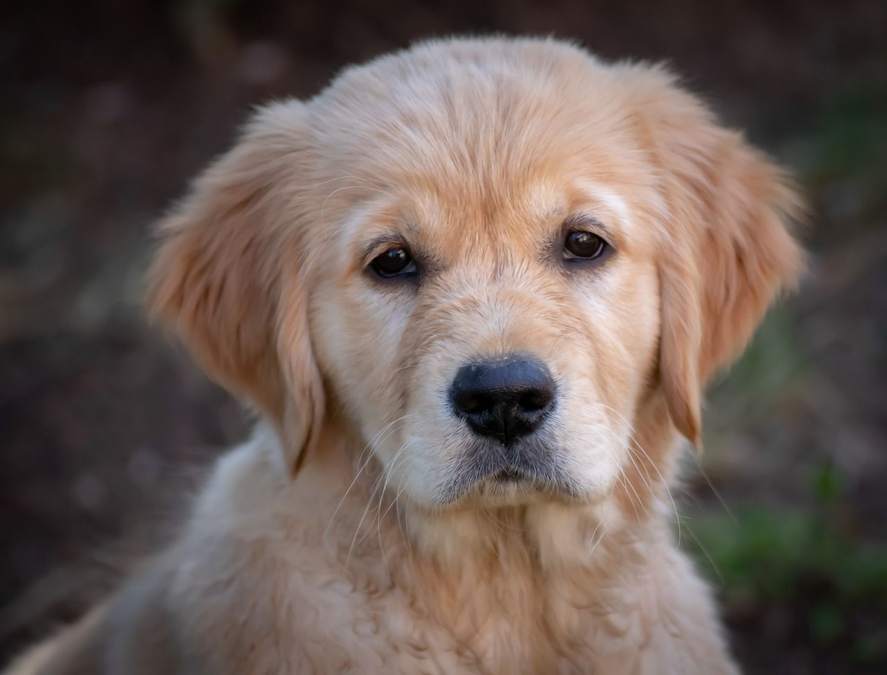 Free Image On Pixabay Dog Puppy Golden Retriever Dogs Golden