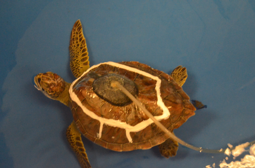 Therapies for Turtles - Loggerhead Marinelife Center