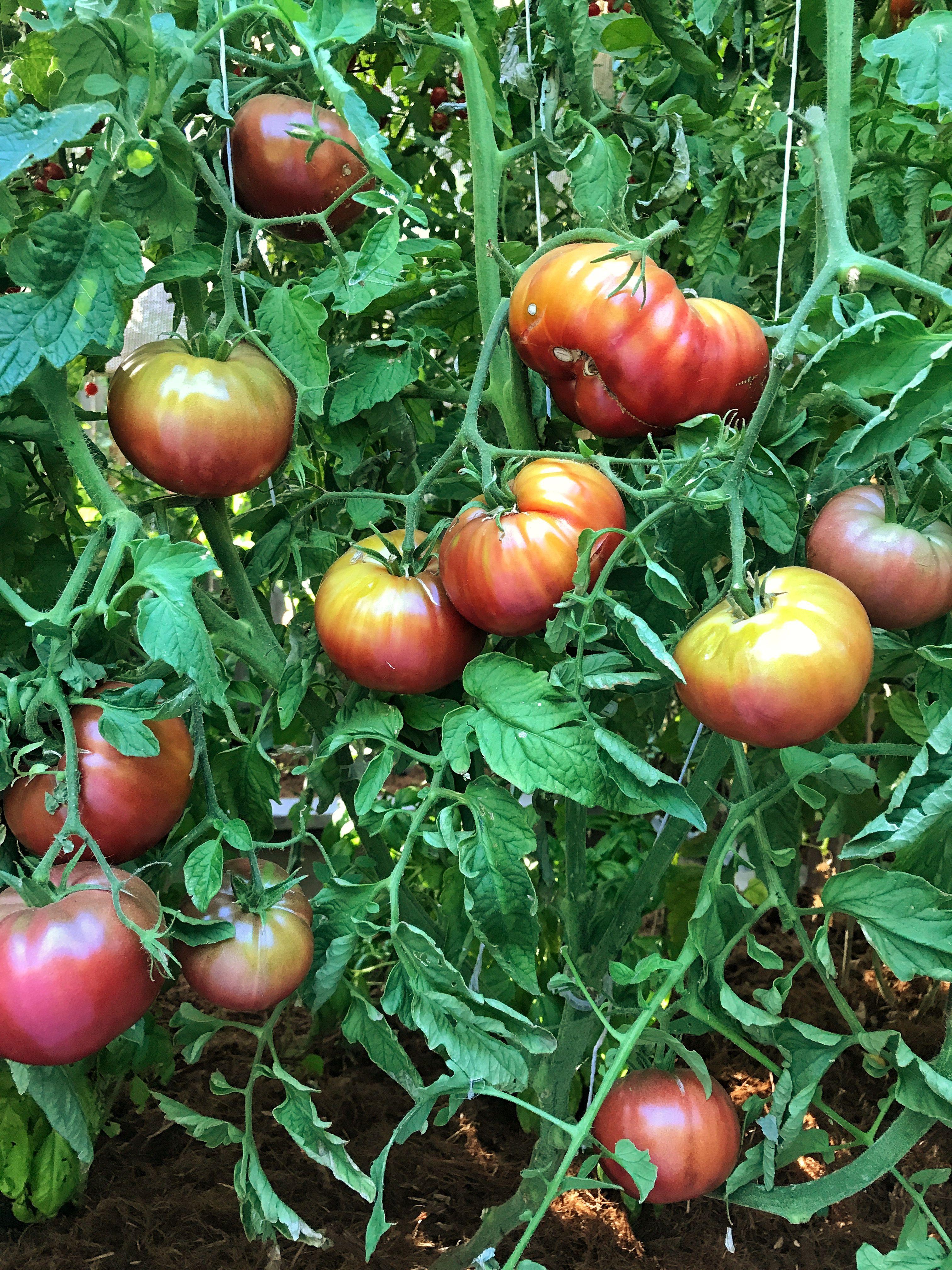 Cherokee Purple Heirloom Tomatoes Purple Plants Tomato 400 x 300