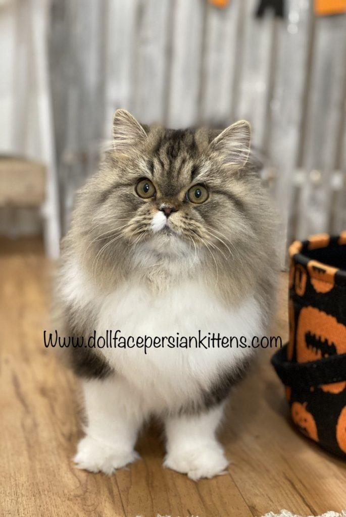 Doll Face Persian Kittens Online Kitten Application Find Your