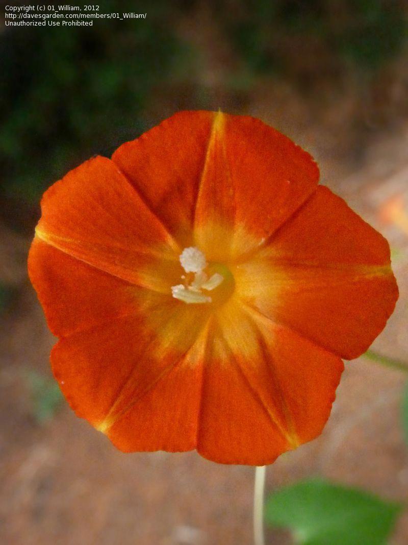 Ipomoea coccinea Orange Noah 20/_Seeds Scarlet Star Glory