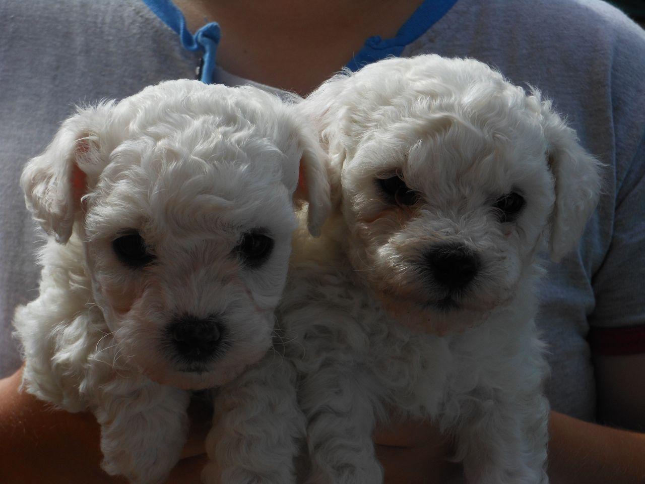 Cute Bichon Frise Pup Puppy Litter Bichon Frise Pup