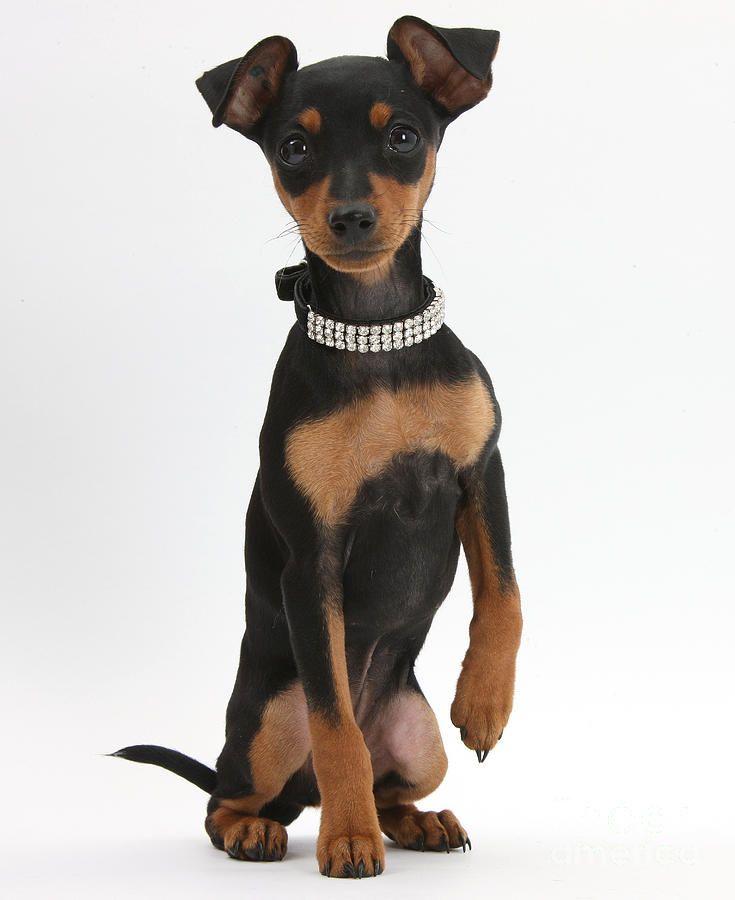 Miniature Pinscher Puppy (mit Bildern) Zwergpinscher