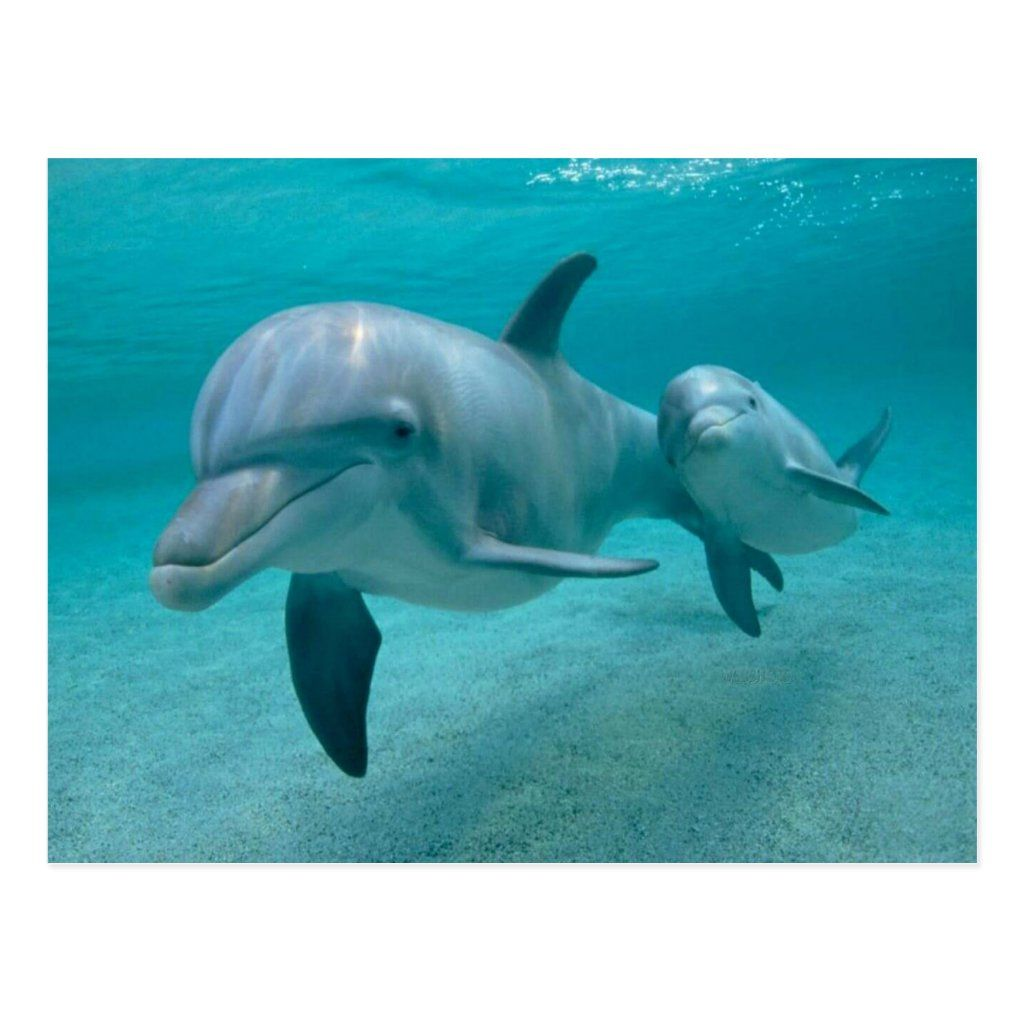 Mother And Baby Calf Dolphin Postcard Zazzle Com In 2020 Mother And Baby Animals Baby Dolphins Dolphins