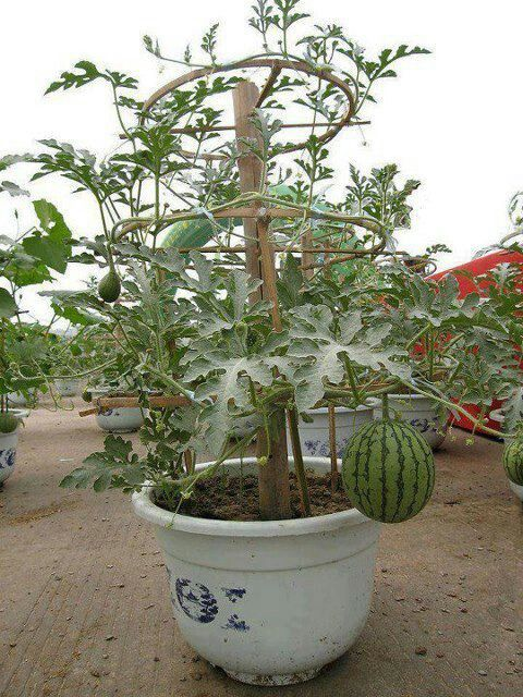 sandias en maceta | fruticultura | pinterest | sandia, macetas y