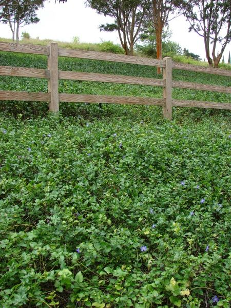 Wonderful ground cover that likes part sun or shade also vinca periwinkle