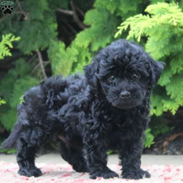 Rex Toy Poodle Mix Puppy For Sale In Pennsylvania With Images