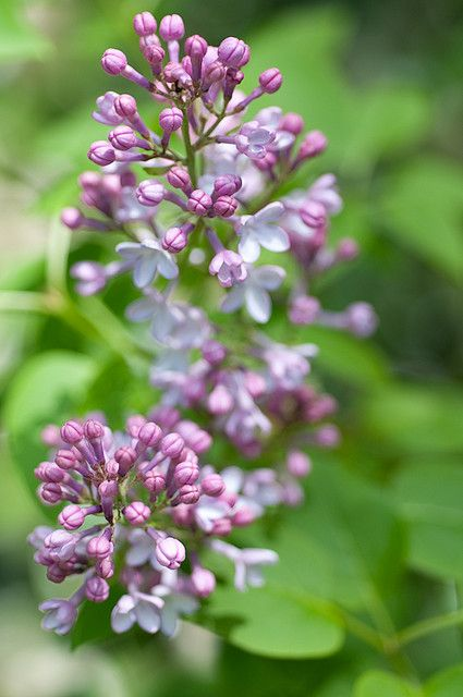 Lilac Lilac Lilac Flowers Garden Lovers