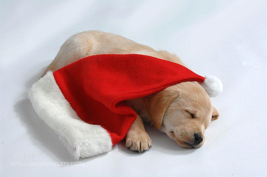 Taking a nap - Pinned by Mak Khalaf Animals animalschristmasdogdogspetpetspuppysleepy pupxmas by RonaldCoulter