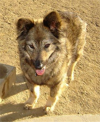 Best Breed For Coyote Decoy Dog