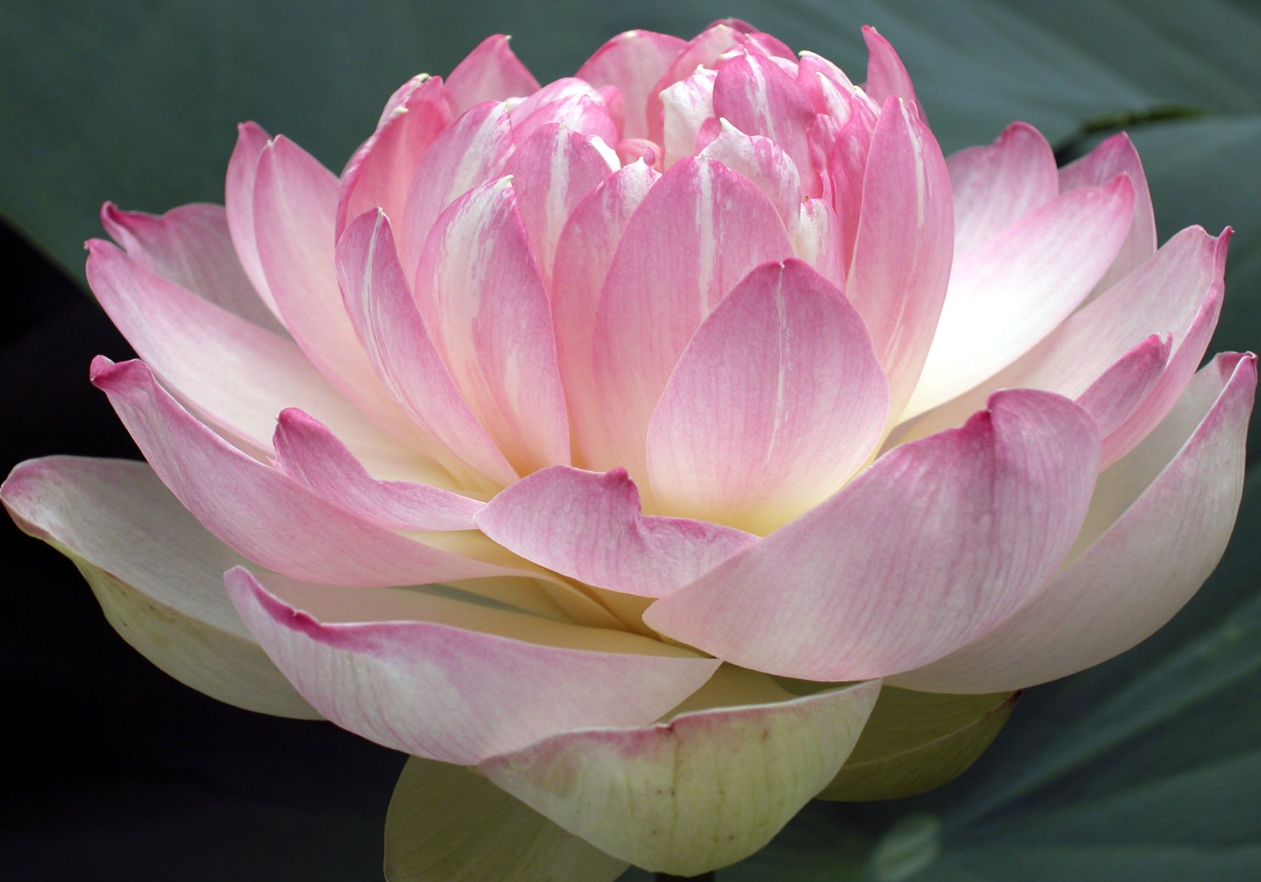 Pin by ellen van den ende on praktijk lotus pinterest explore the lotus lotus flowers and more izmirmasajfo