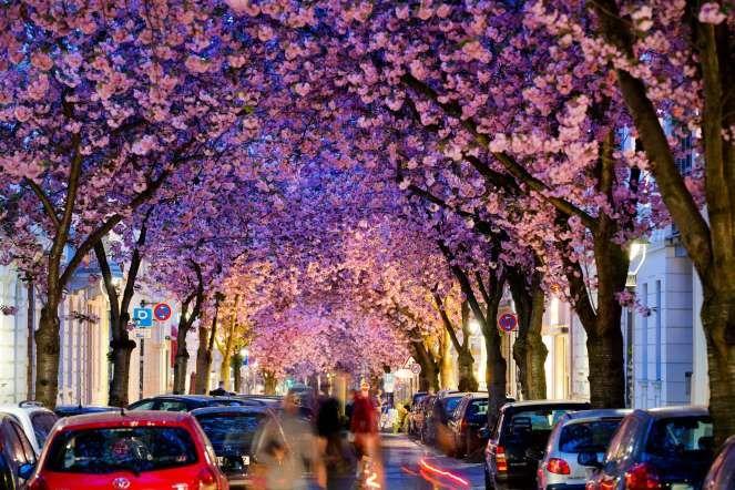 Cherry trees in a street in Bonn, Germany - AP Photo/dpa, Rolf Vennenbernd