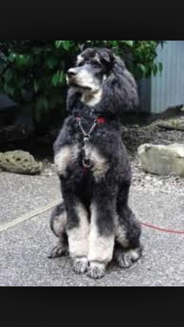 Aristocrat Phantom Poodle Poodle Dogs