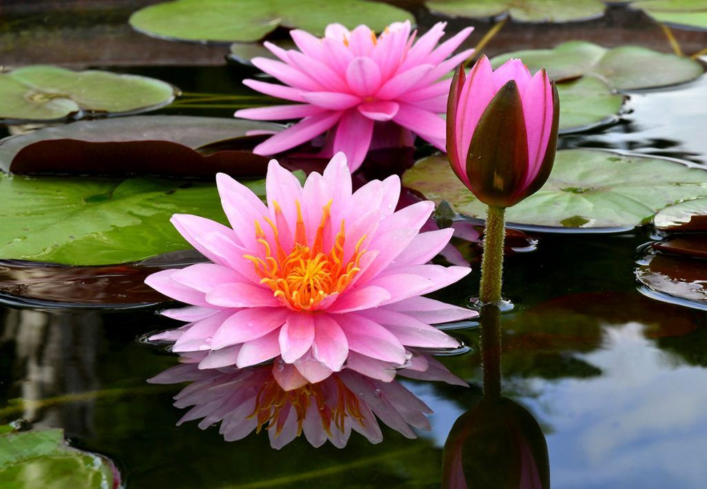 Terra Garden Centre And Stores Near Me Plant Nursery And Store Near Me Lotus Flower Pictures Water Lilies Painting Lily Flower