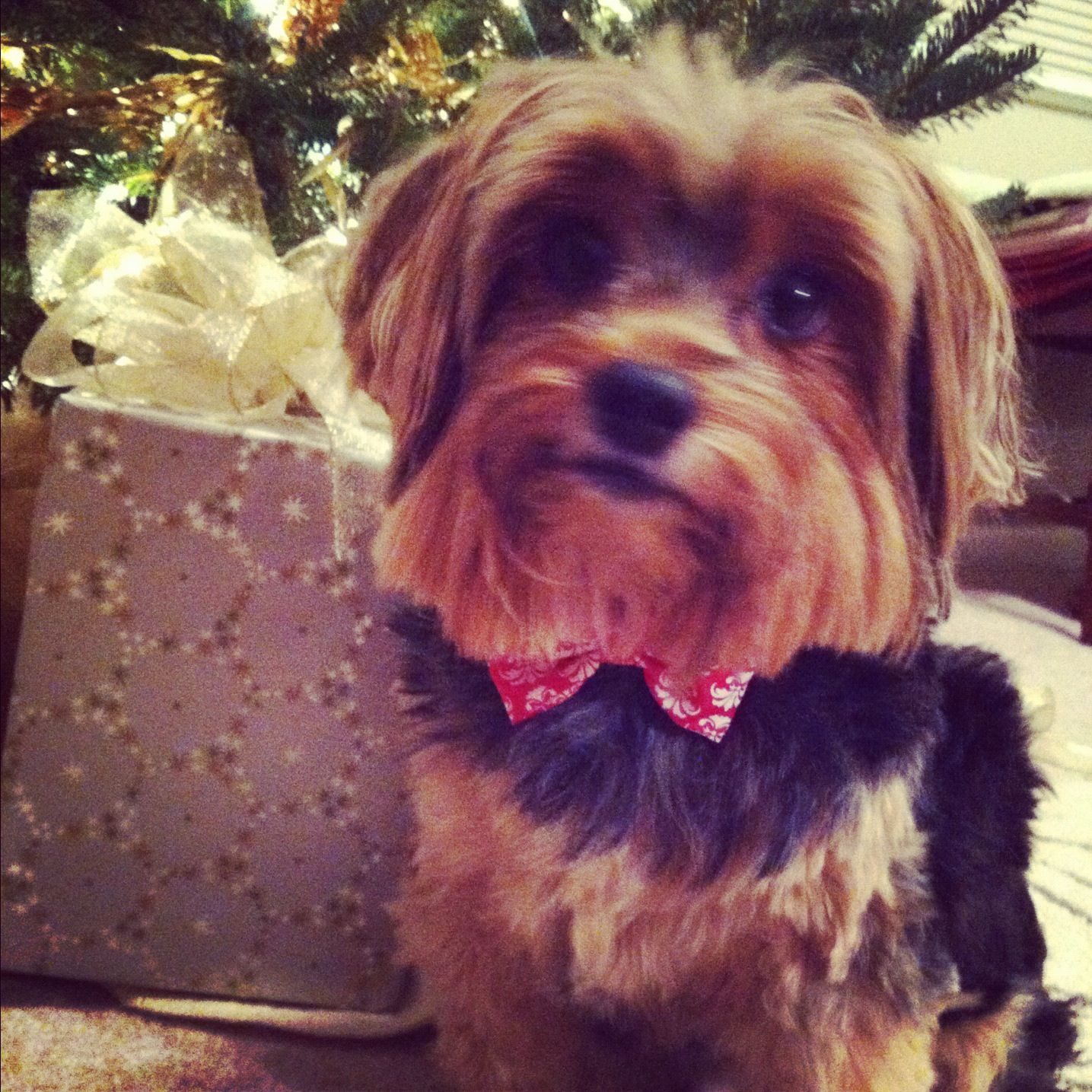 38++ Haircuts for yorkies with floppy ears inspirations