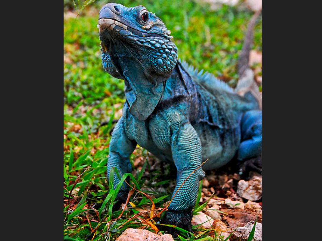 The blue iguana, though herbivorous, is now believed to be