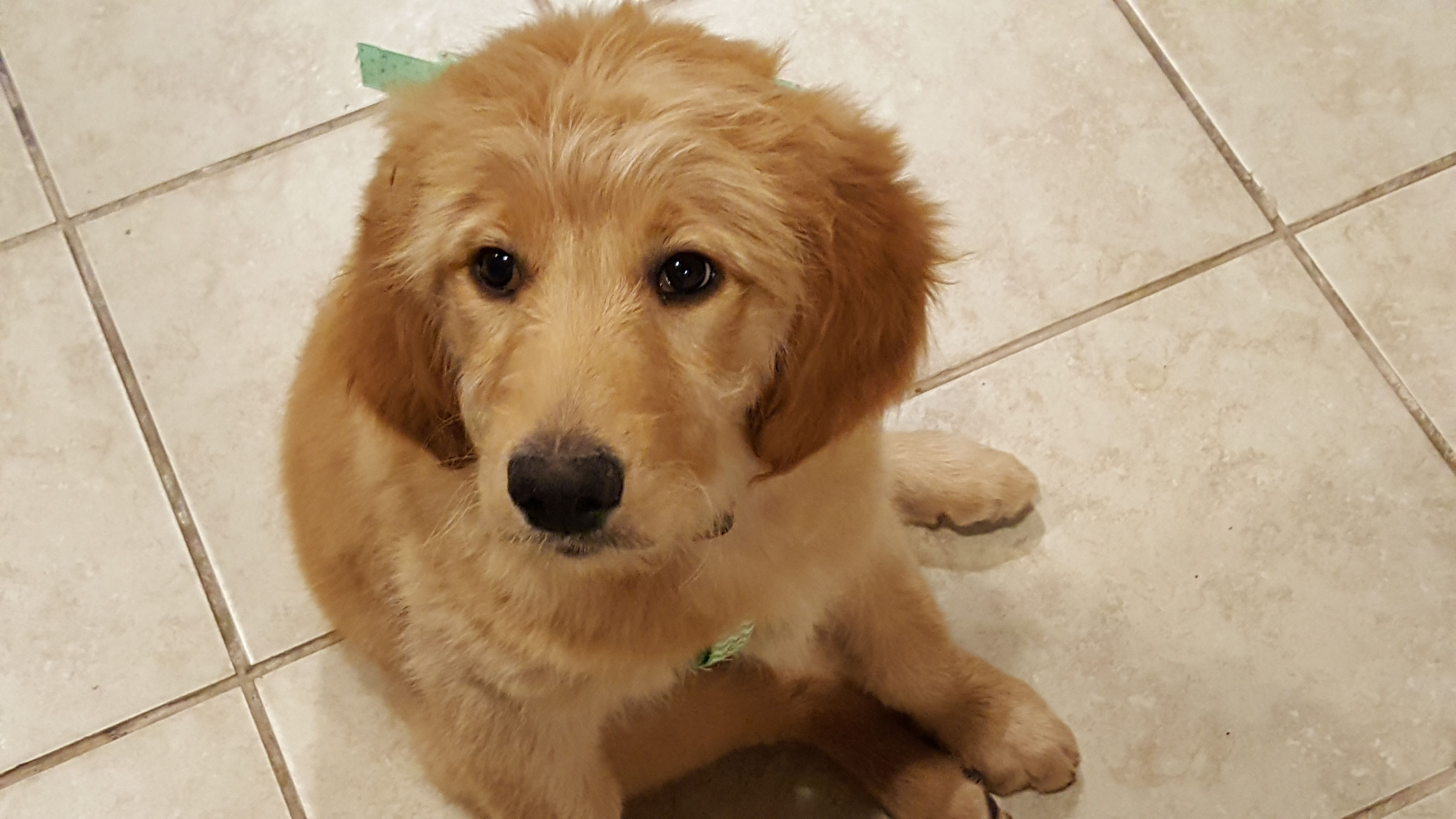F1 Goldendoodle Puppy Look that sweet face Crate