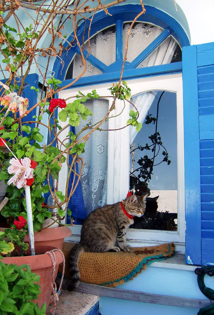 Santorini cat, Firostefani