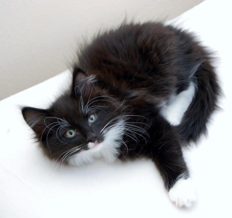 Norwegian Forest Cat Cattery Indah Kehutanan The Netherlands