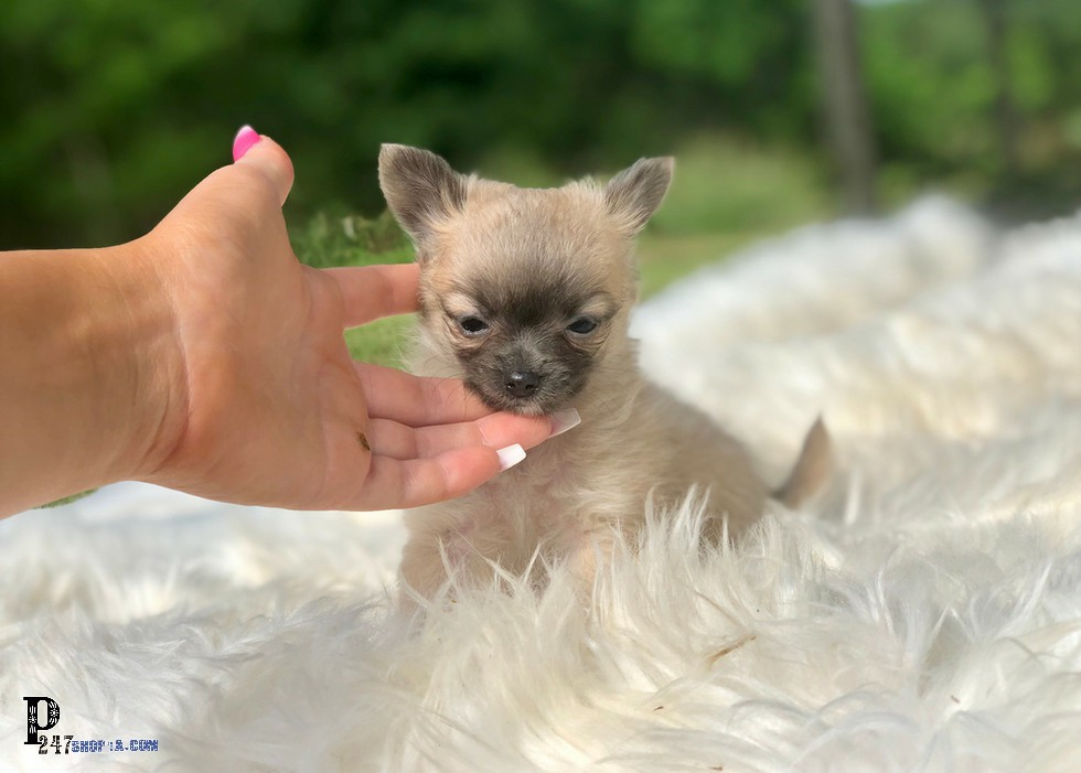 Long Haired Teacup Chihuahua Puppies For Sale Blue Applehead