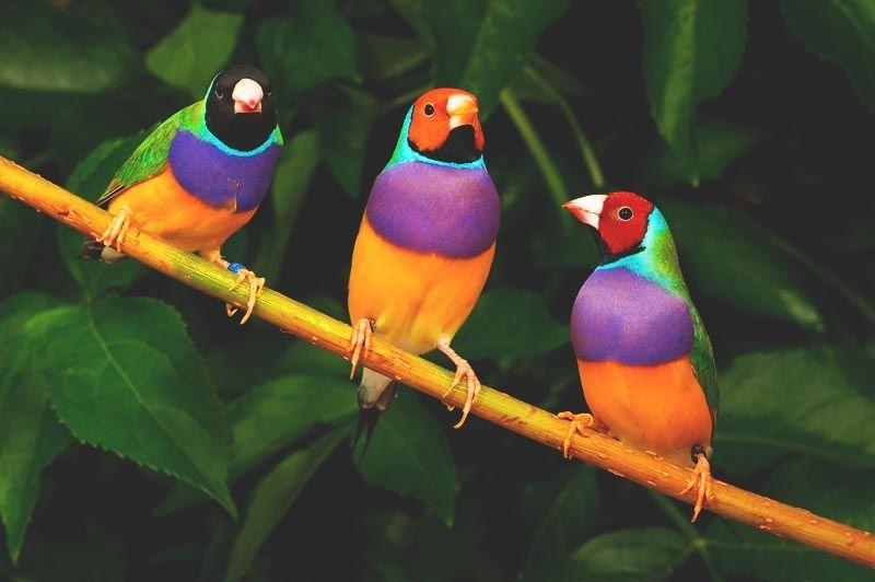 Gallos Coloridos Dibujos Animados: Resultado De Imagen De Aves Diamante De Gould