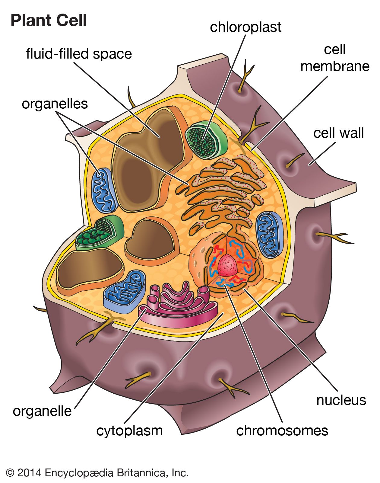 Human Cells What Are Cells Made Of What Do Cells Do