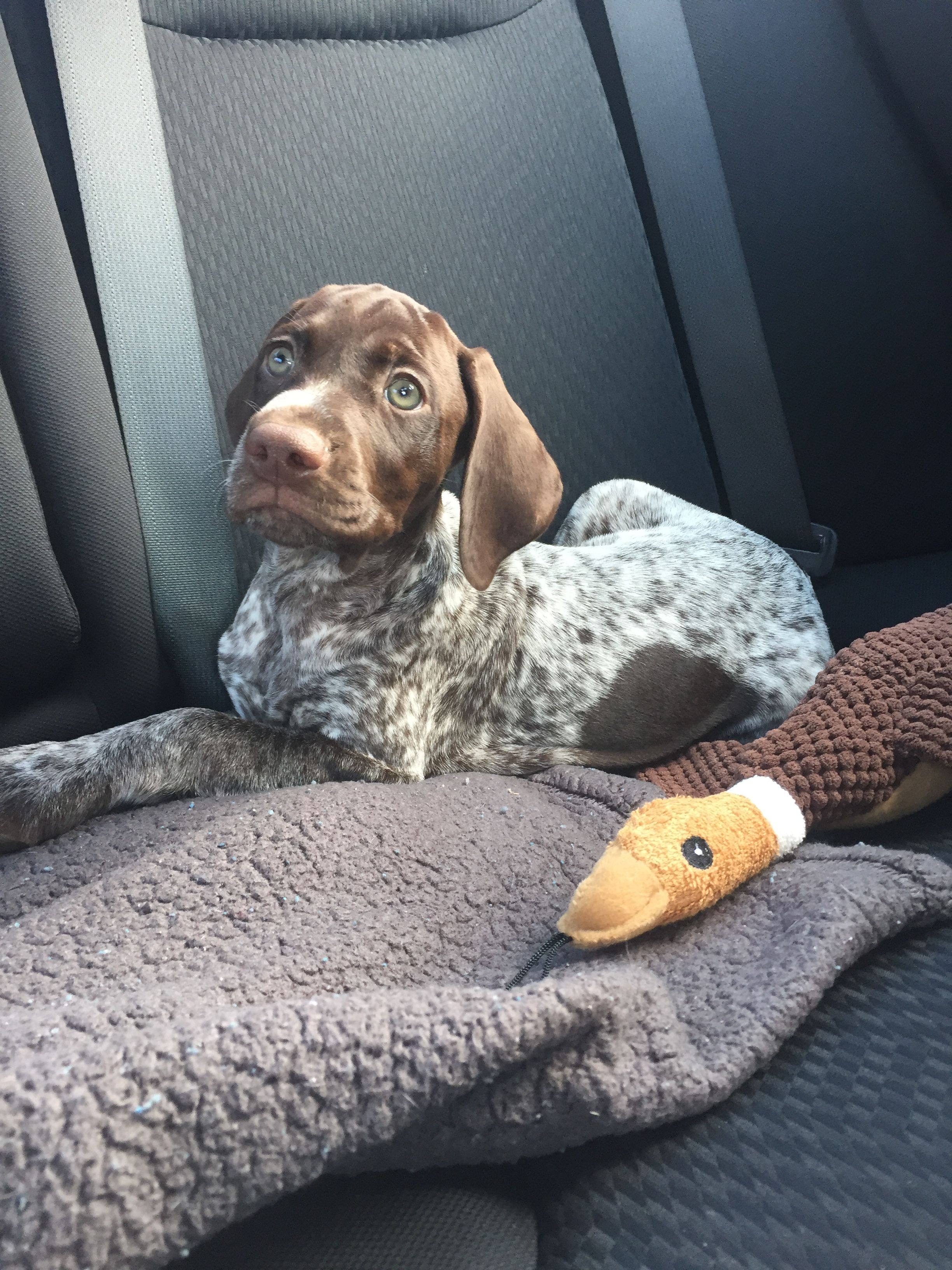 Gsp Puppy Gsp Puppies Pointer Puppies German Shorthaired Pointer