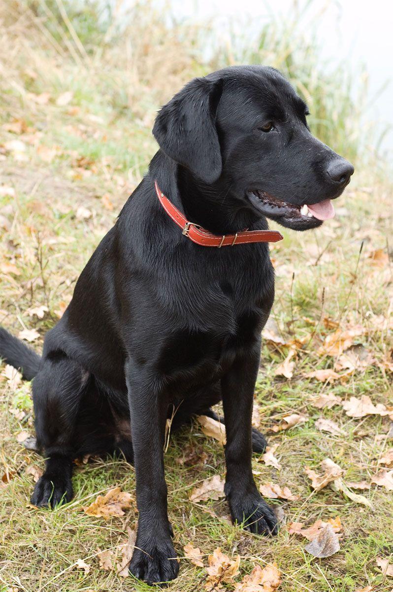 Black Labrador Eda Black Labrador Black Dog Labrador
