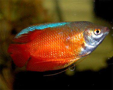 Aquariumdomain Com Fish Fish Ponds Tropical Fish