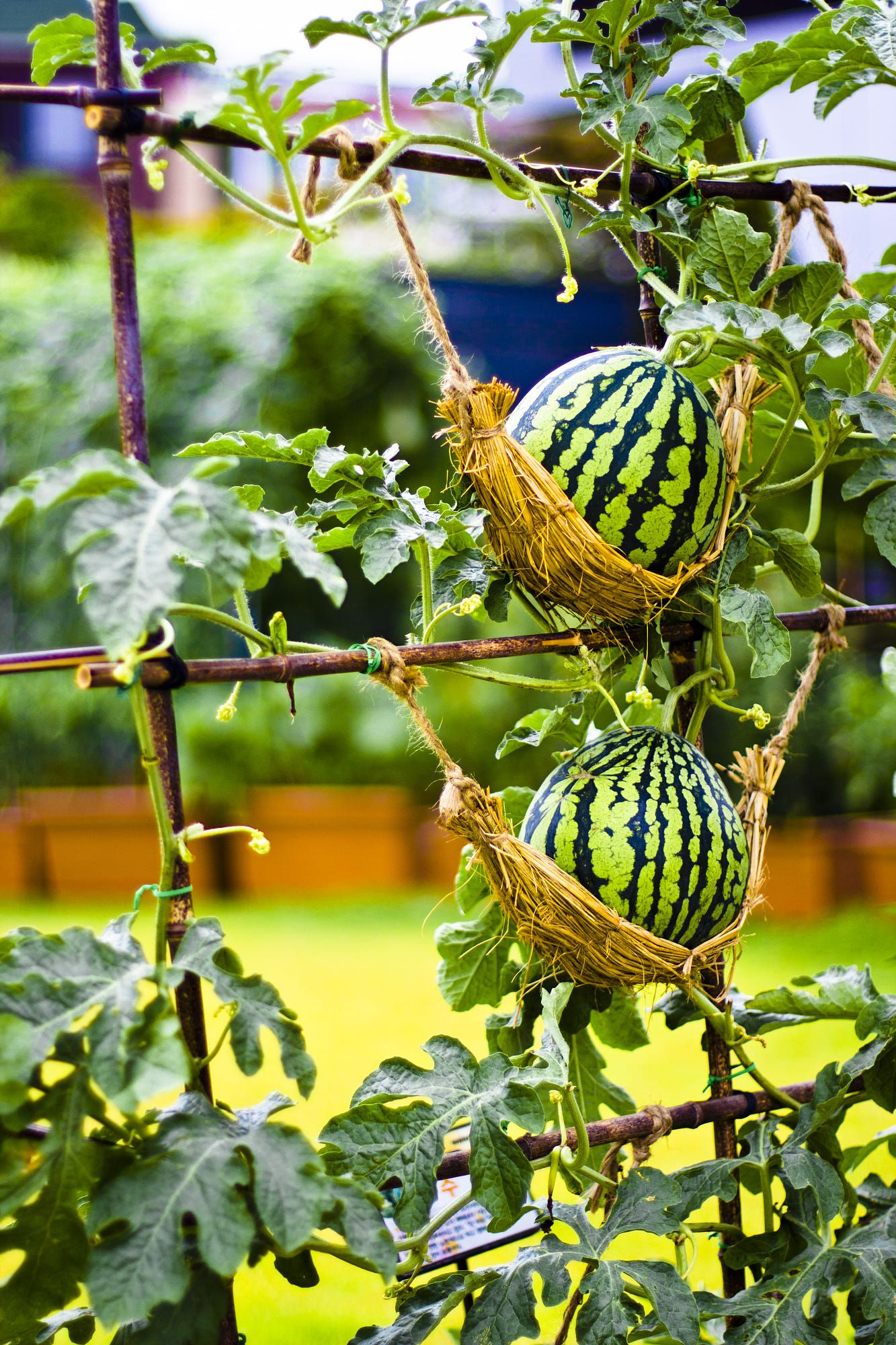 Summer Watermelon By John Rhee ไอเดียแต่งสวน 400 x 300