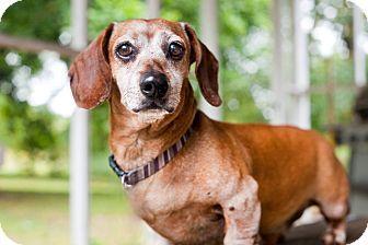 Barium Springs Nc Dachshund Mix Meet Oliver A Dog For