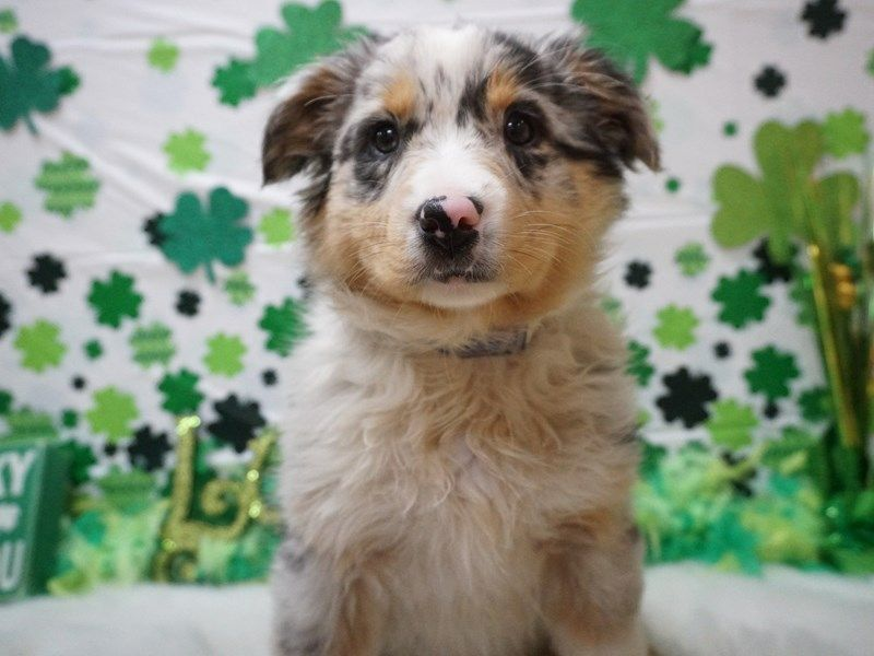 Petland Racine Wi With Images Corgi Puppies For Sale Puppies For Sale Pets