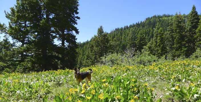 Wildflowers and pine trees: hiking in Park City in July | A