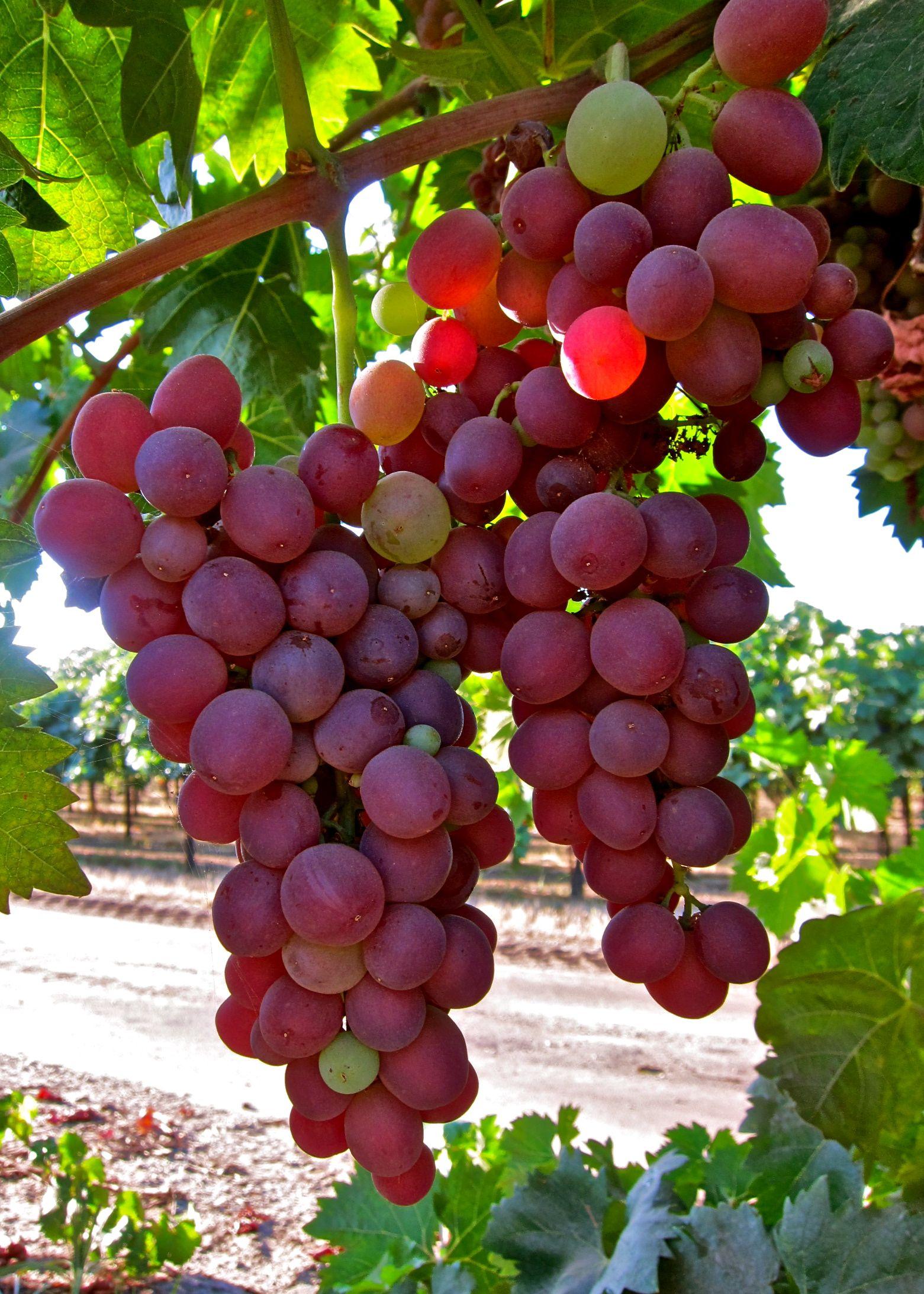 Pin On 100 Grapes Of Lodi