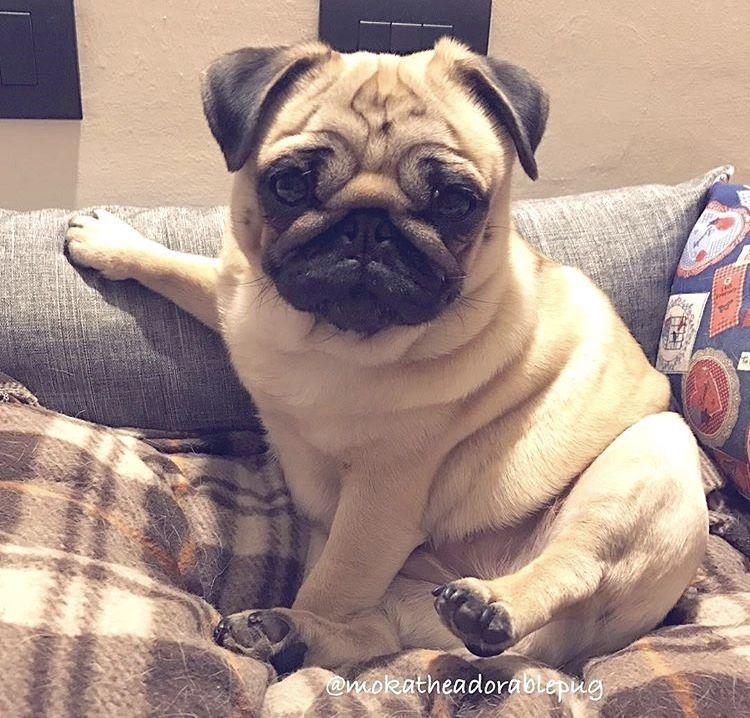 This Is So Cute Pug Pug Puppies Pugs Baby Pugs