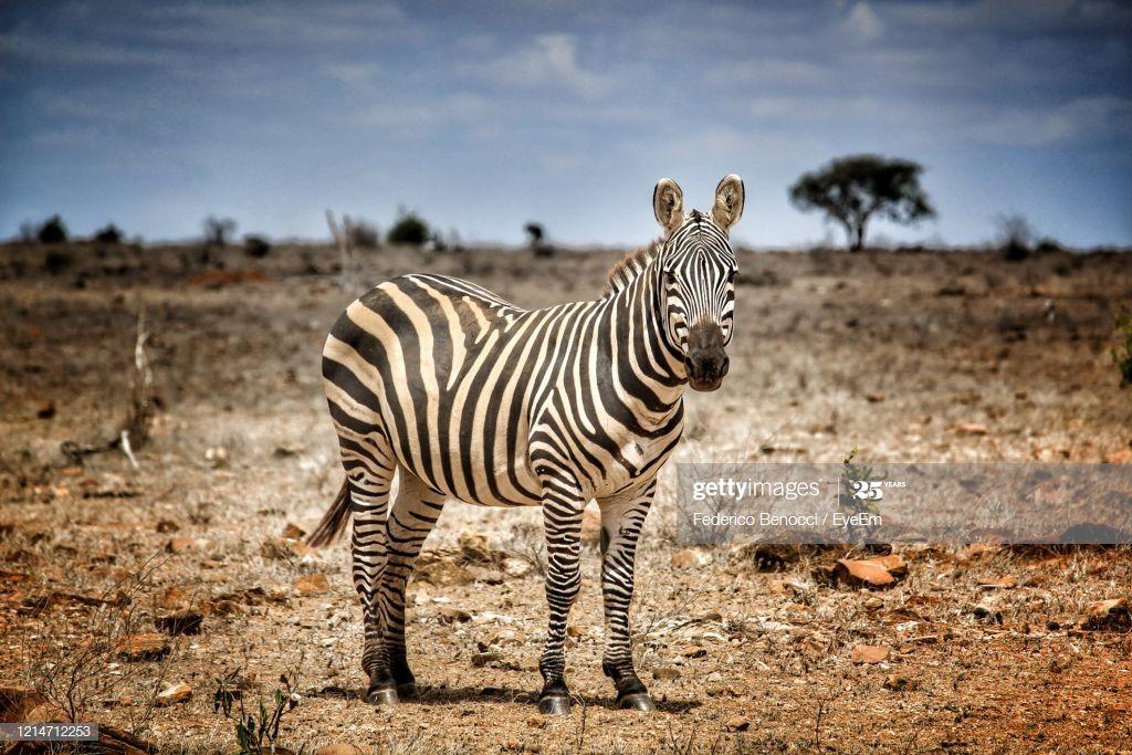 Zebra Standing On Field Photography #Ad, , #spon, #Standing, #Zebra, #Photography, #Field