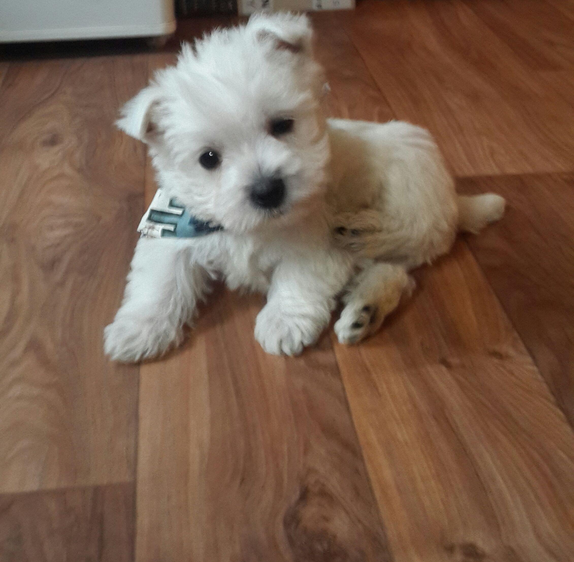Pin By Jackie Hall On Westie Darling Westie Puppies Westie Terrier West Highland Terrier