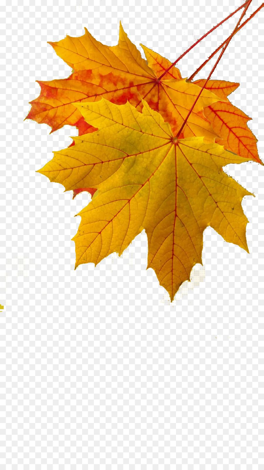 Maple Leaf Autumn Leaf Color Yellow Golden Autumn Leaves Png Is