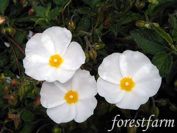 Cistus Corbariensis Hybridus White Rockrose Forestfarm