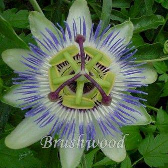 Pin By Morgan Hickson Fray On Garden Passiflora Caerulea Passion Flower Passiflora