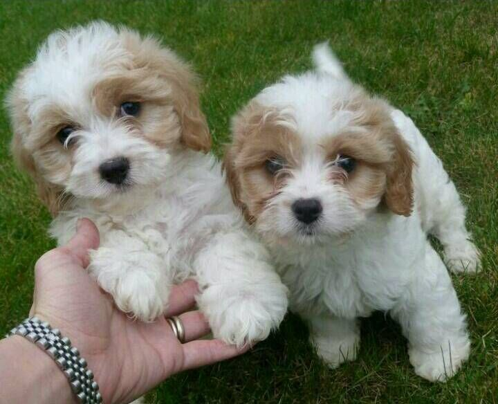 Beautiful litter of cavapoo puppies in Wilmslow