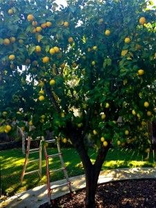 Lemon Tree Can Grow 15 Feet Tall And Can Be Trained To Provide Patio Shade Tolerant Of Heat And Dry Soil Backyard Plants Backyard Trees Citrus Trees