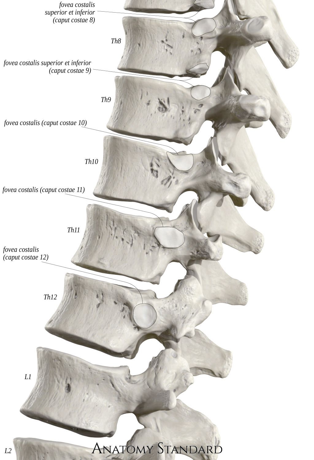 Pin On Thoracic Vertebrae