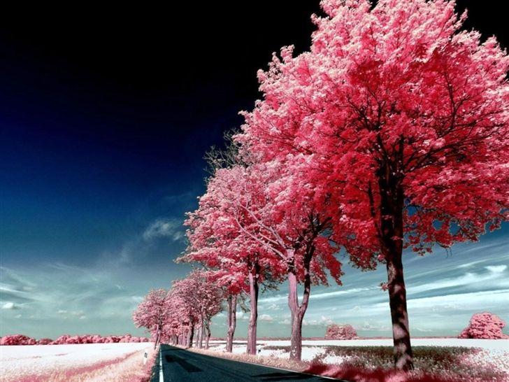 Roadside Pink Trees Mac Wallpaper Download Free Mac