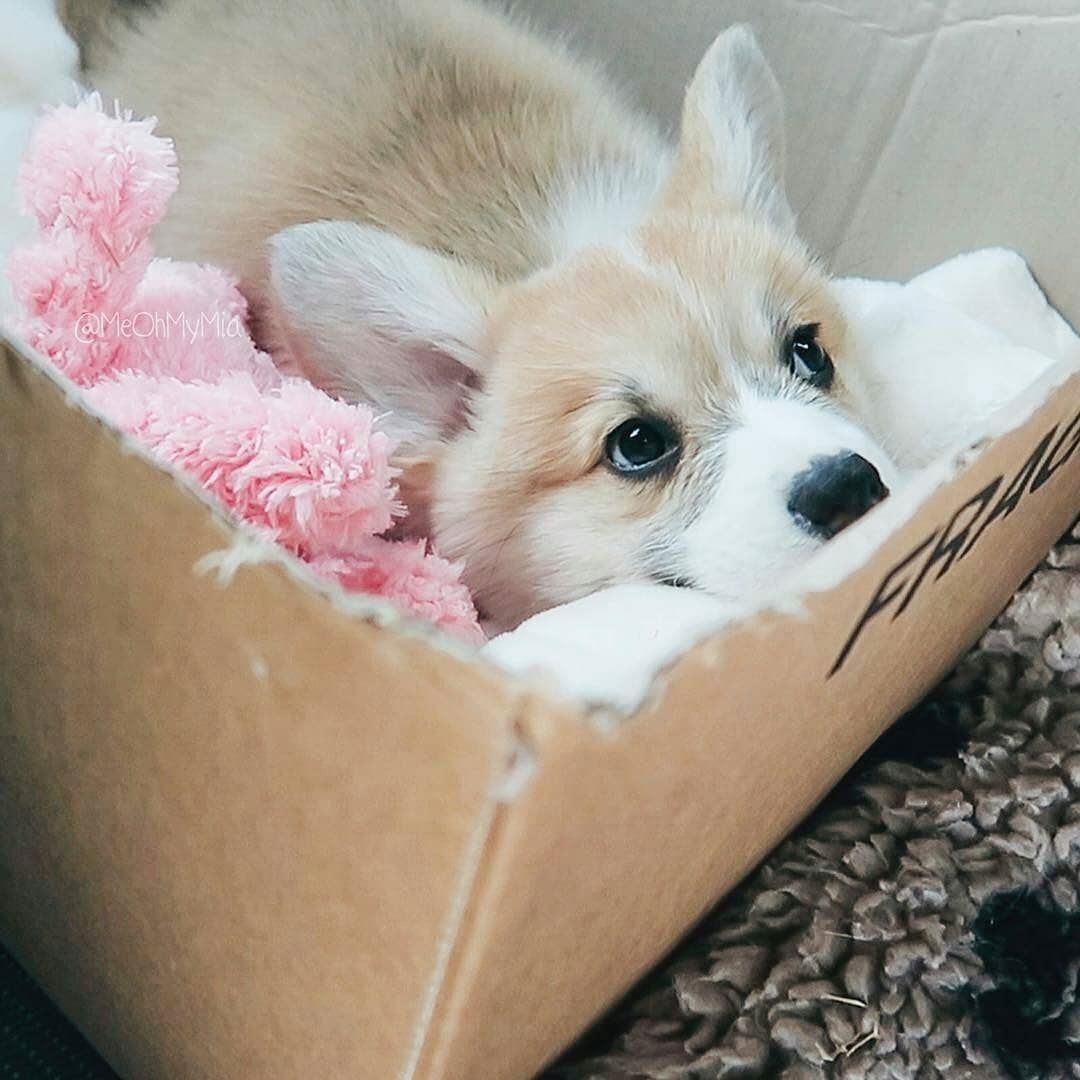 Image Photo Of A Fuzzy Corgi Puppy Looking At The Camera Outside