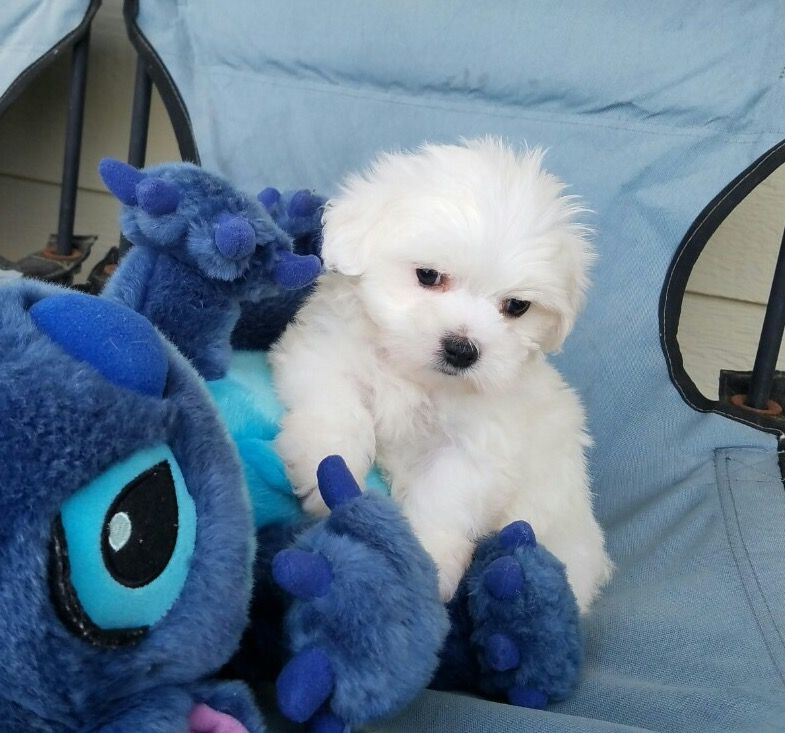 Maltipoo puppy for sale in los angeles ca adn25960 on