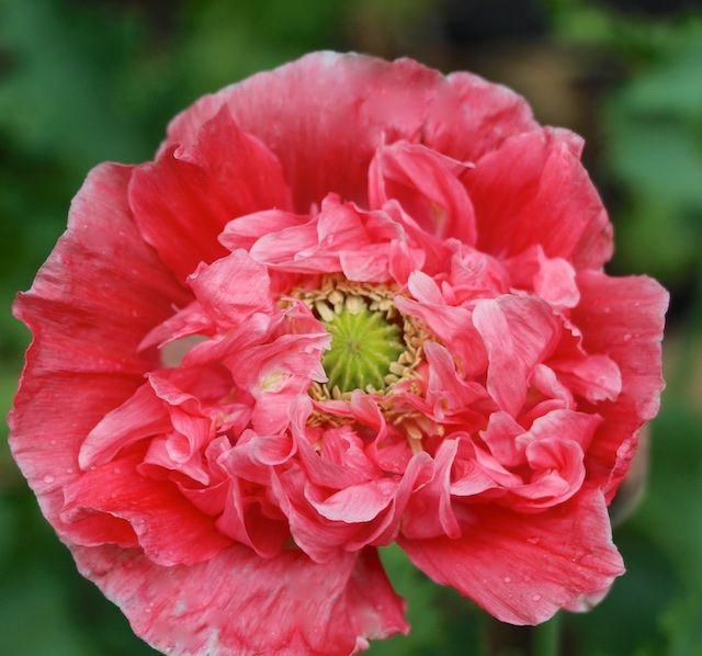 falling in love poppy
